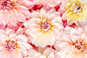 Pattern of pink flowers dahlias