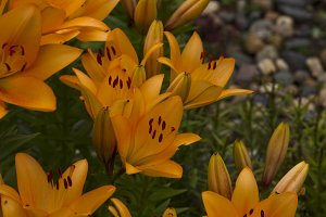 Lily flowers.