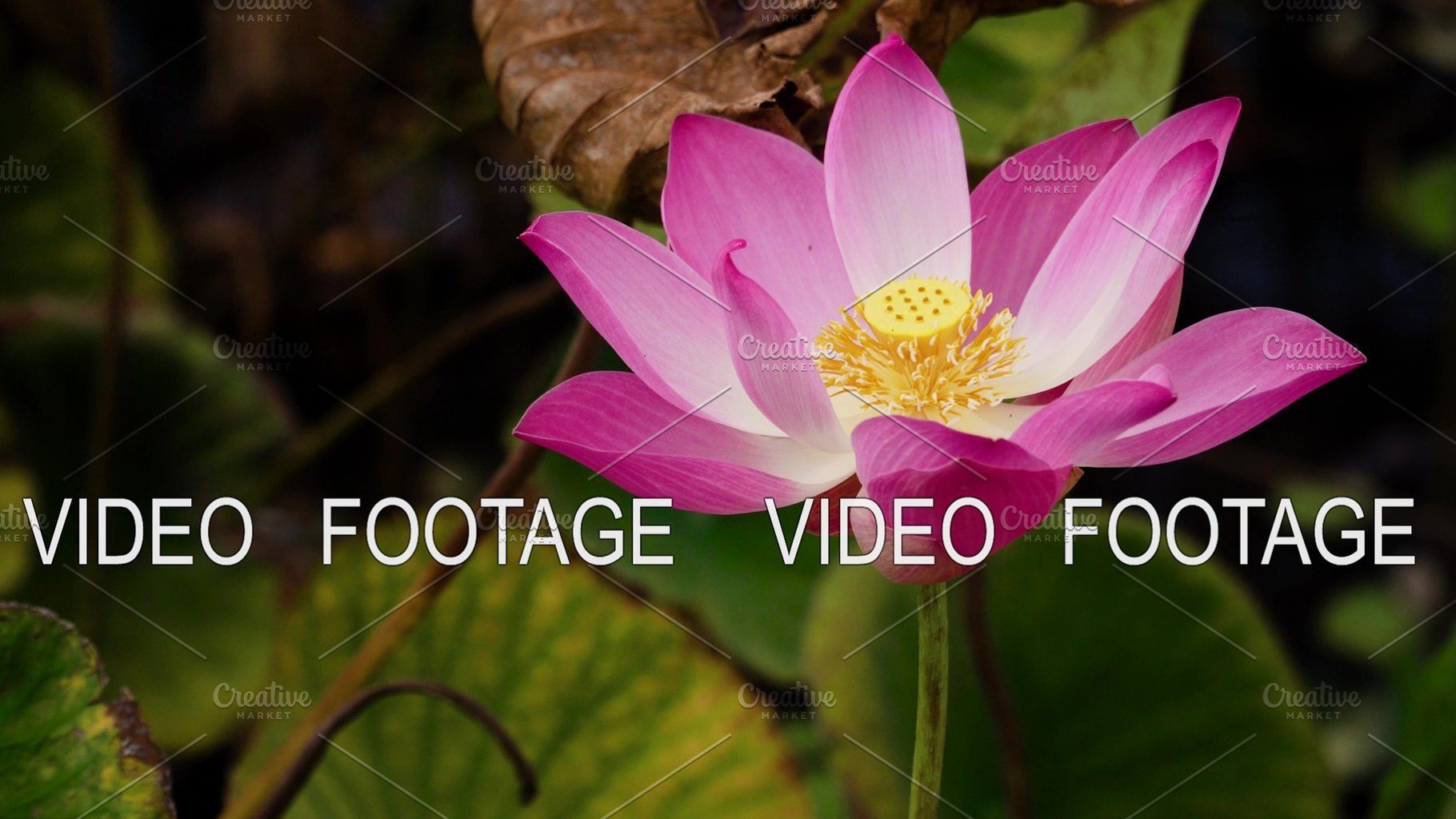 Pink Lotus Flower Nature Photos Creative Market
