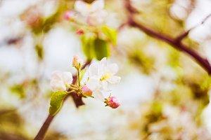 Spring Apple Blossom Photo
