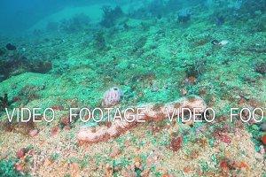 Sea cucumber under water