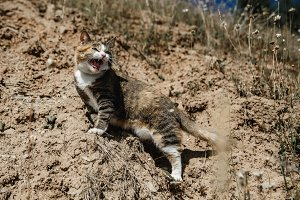Steppe colored domestic cat funny