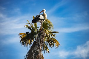 Stork in a palm tree