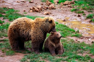 Mother bear caressing her cub