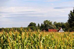 Corn field in Bruges Belgium