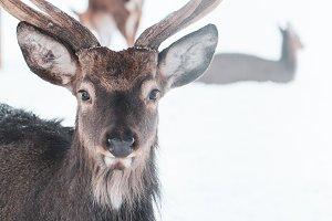 Sika deer ,  Cervus nippon, spotted