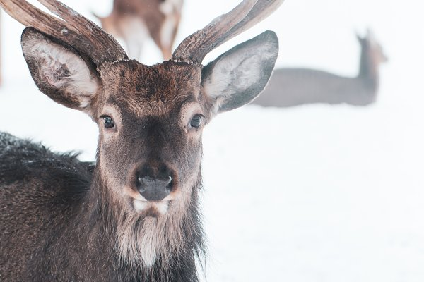 Animal Stock Photos: Wildstrawberry Magic - Sika deer ,  Cervus nippon, spotted