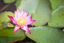 Lotus bloom in the garden