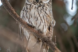 Owl sit in a tree and looking on the
