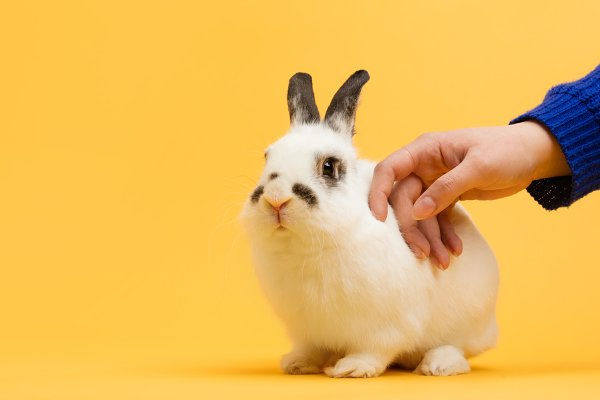 Hand petting white bunny on yellow…