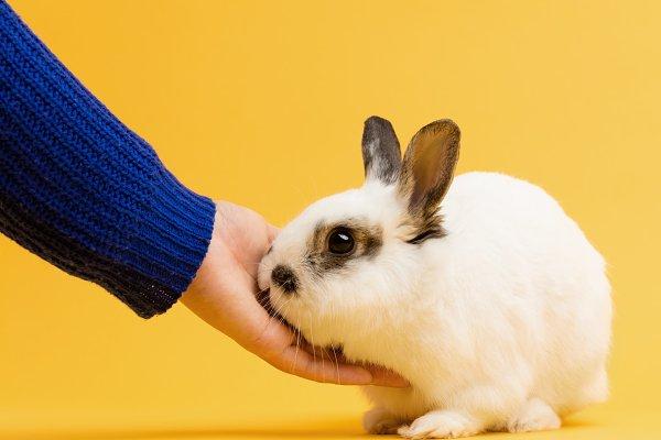 Hand petting white rabbit on yellow…