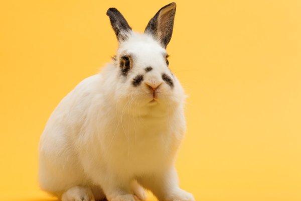 Rabbit sitting on yellow background…