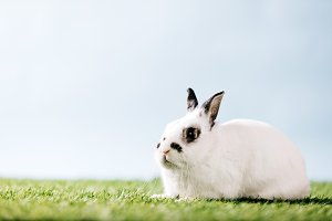 White rabbit laying on green meadow.