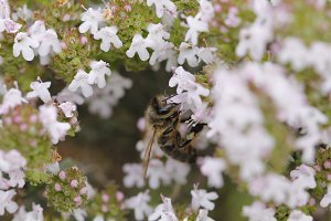 Bee and thyme flower