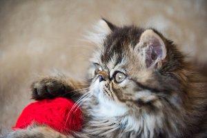 Beautiful Persian kitten cat profile