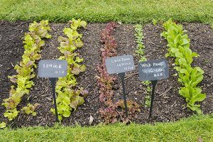 Lettuces in the garden