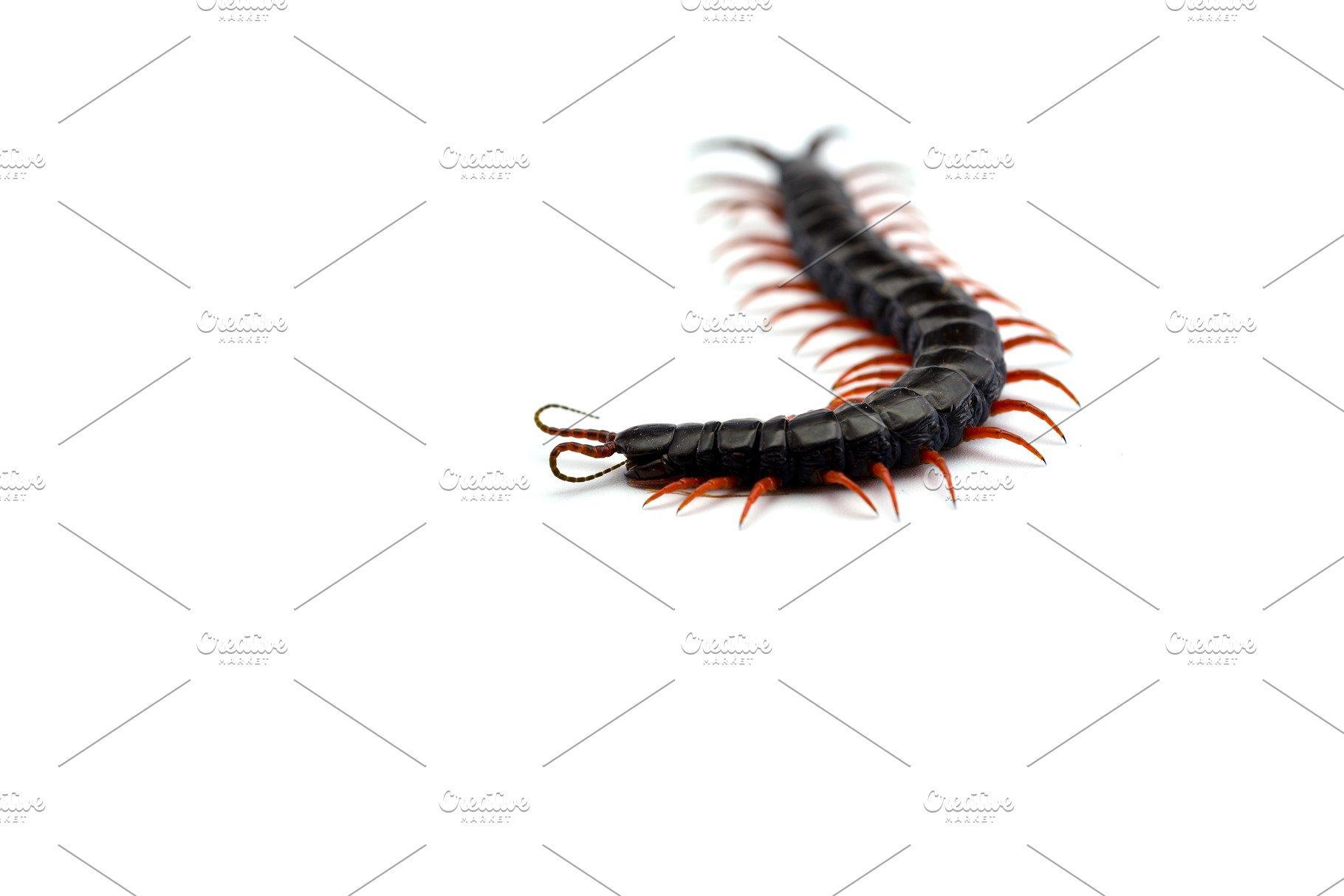 Giant centipede isolated on white ba