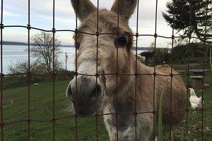 Donkey Behind a Fence