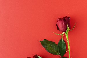 Red roses. Valentine's Day- Love