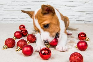 Funny Basenji puppy dog and red