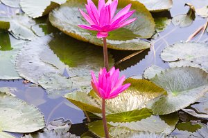Lotus in a pond