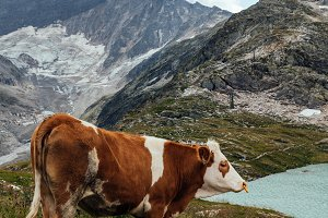 Cow grazing in the mountains, Alps