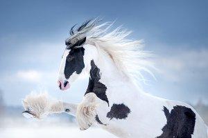 irish cob mare rearing portrait