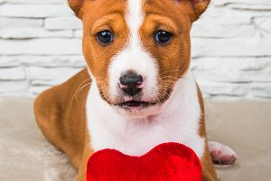 Funny Basenji puppy dog with red