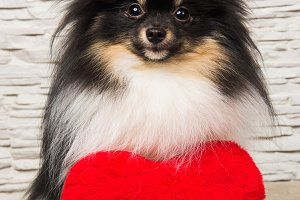 Pomeranian Spitz dog puppy with red