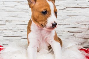 Funny Basenji puppy dog is sitting