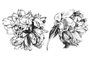 Hand drawn peonies