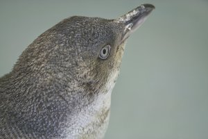 Small blue penguin