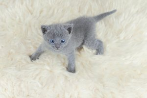 Оne month blue-eyed kitten looking