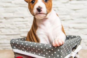 Funny Basenji puppy dog in the