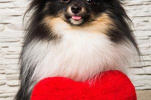 Pomeranian Spitz dog puppy with red