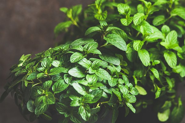 Fresh mint growing in pots over