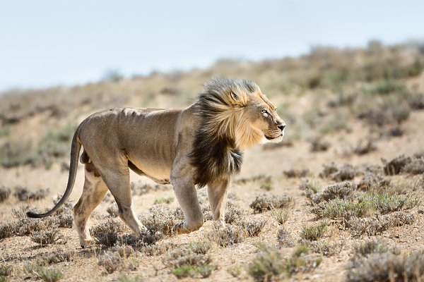 Animal Stock Photos: Etienne & Yolandi Outram - Kgalagadi Lion