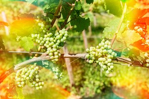 Grapes with green leaves. Autumn