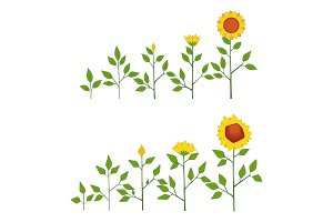 Vector sunflower plant growth stages