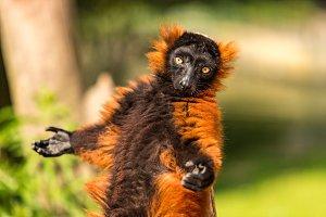 Red ruffed lemur in the Artis Zoo