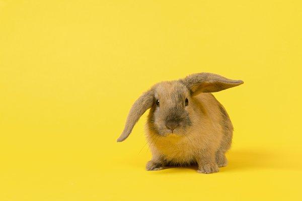 Cute rabbit on yellow