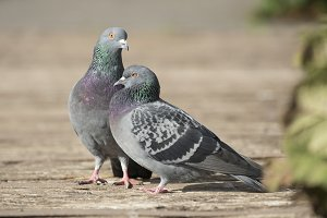 Two pigeons in the sunlight