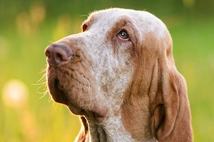 Bracco Italiano sitting in grass at