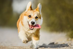 Funny Welsh Corgi running with