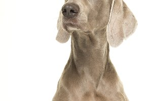 Portrait of a weimaraner dog