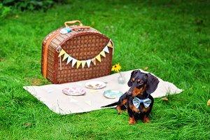Miniature dachshund on a picnic