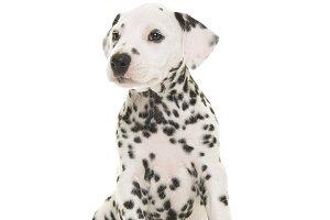 Cute dalmatian puppy dog sitting