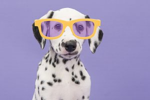 Dalmatian puppy with glasses