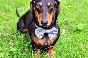 Miniature dachshund wearing bow tie