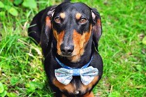 Black and tan miniature dachshund